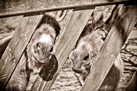 donkeys, Atlanta, Sandy Springs